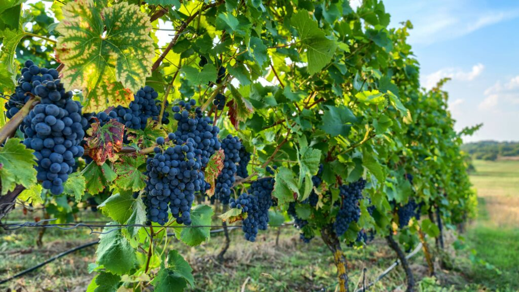 pinot noir Locutor del Vino